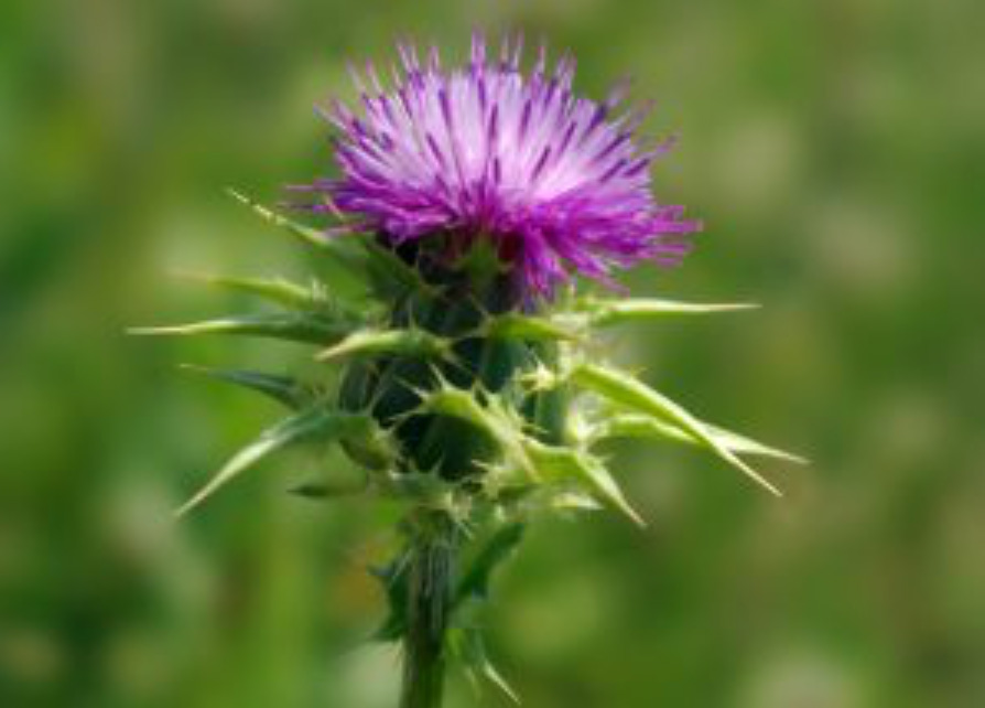 Herbal-Monograph-Milk-Thistle