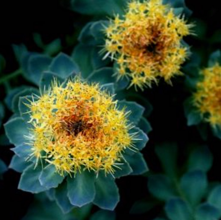 Herbal-Monograph-Rhodiola-osteopath